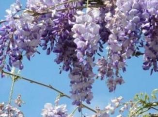 Piante pericolose seconda parte l 39 opinionista for Pianta rampicante con fiori viola a grappolo