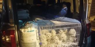 Gorizia sequestro di cuccioli
