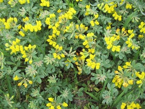 Wikiplantbase specie botanica