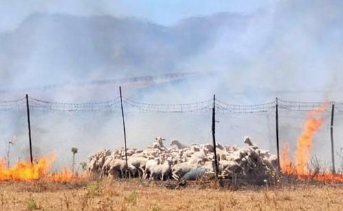 Gregge a rischio in Sardegna