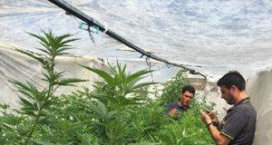 Salerno, piantagioni di Marijuana