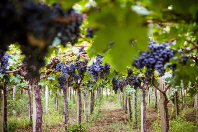 Vitigno vigneto vino
