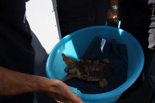 tartagura marina Caretta Caretta