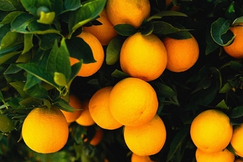 Tavolo nazionale settore agrumicolo: il commento di Confagricoltura