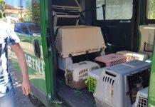 Maltrattamenti in un allevamento di Chihuahua: sotto inchiesta i due titolari e un veterinario