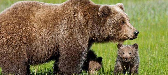 Orsa Kj2: a Trento LNDC impugna l'ordinanza contro l'animale
