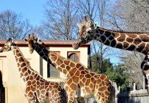 Giornata della Giraffa appuntamenti Bioparco Roma