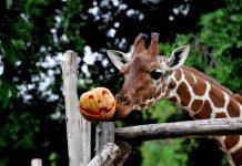 halloween giraffa