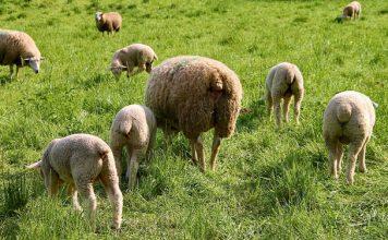pascolo ovini