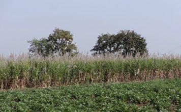 piantagioni zucchero