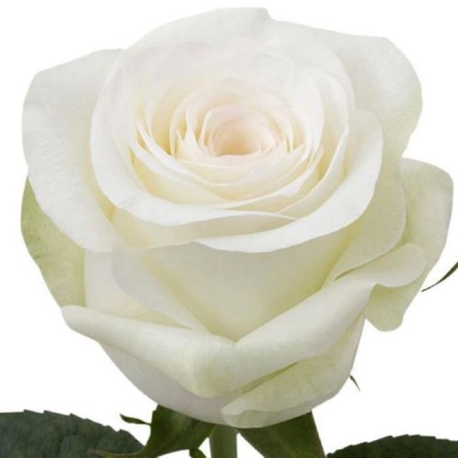 rose alba giornata sollievo
