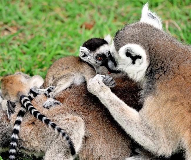 lemuri catta