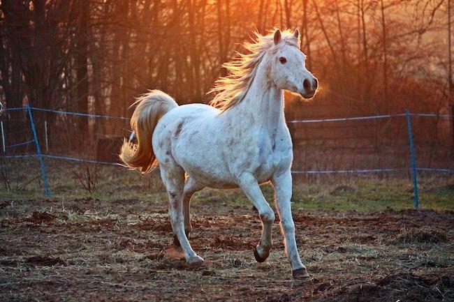 cavalla bianca