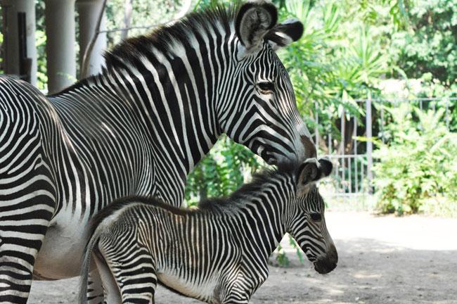 fiamma zebra mamma