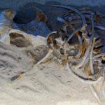 aegyptocetus skeleton