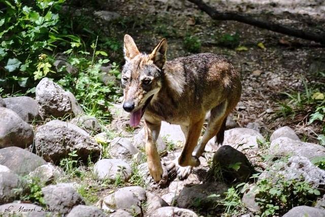 giovene ibrido lupo cane