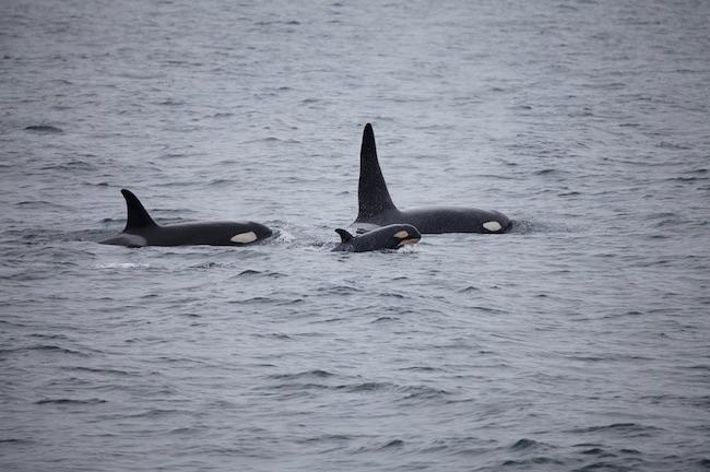 orche avvistate