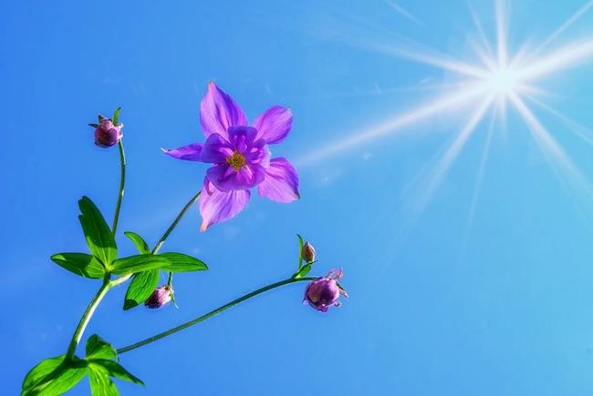 fiore sole