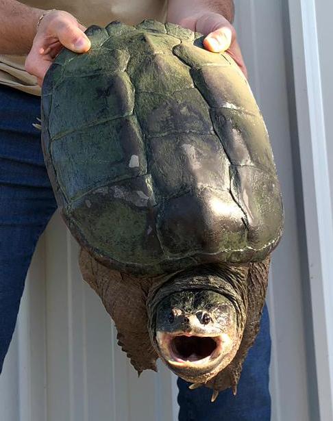 tartaruga codrigna
