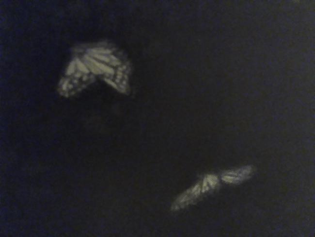 farfalle notte