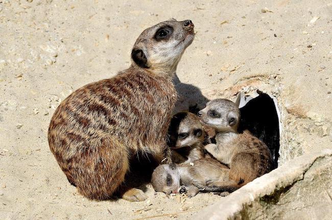 cuccioli suricati