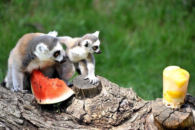 lemuri anguria